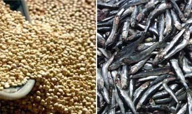 La anchoveta y la quinua contra la desnutrición