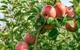 Huaral entre las zonas más productoras de manzanas del Perú