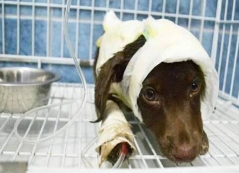 Conmoción en Facebook por la muerte deChocolate el perro que había sido despellejado vivo